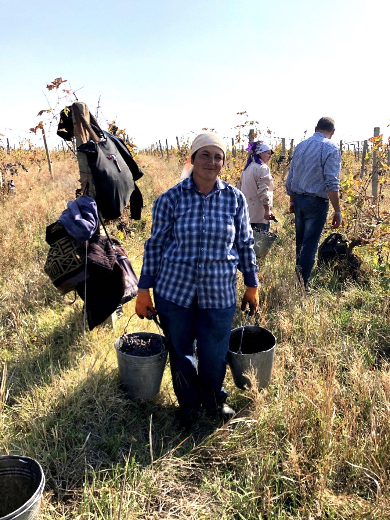 Harvesting Grapes in Ivanovka village, Azerbaijan